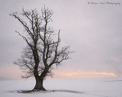 That Tree - Day 3 (.Brian Kerr Photography.) Tags: cumbria carlisle tree winter snow sunrise landscapephotography photography outdoor outdoorphotography opoty nature naturallandscape natural briankerrphotography briankerrphoto sony formatthitech vanguarduk firecrest landscape trees wintery availablelight sky