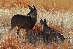 Mule Deer (Circled Thrice) Tags: deer muledeer mammal animal wild wildlife nature natural meadow field rmna rockymountainarsenal nationalwildliferefuge refuge colorado co denver commercecity aurora park urbanpark outside outdoors canon eos rebel t5i