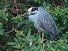 Yellow-crowned Night-Heron 03-20180119 (Kenneth Cole Schneider) Tags: florida miramar westmiramarwca