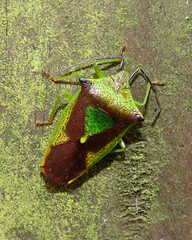 Hawthorn Shieldbug, Kingmoor Nature Reserve, 28 January 18 (gillean55) Tags: canon powershot sx60 hs superzoom bridge camera north cumbria kingmoor nature reserve carlisle nnr hemiptera hawthorn shieldbug acanthosomahaemorrhoidale south