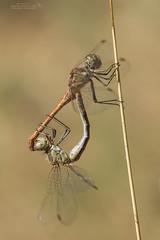 Sympetrum sinaiticum (Pipa Terrer) Tags: sympetrumsinaiticum dragonfly anisoptera libelluiladae libélula invertebrados insecta odonata