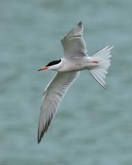 Tern Preston Docks F00102 D210bob DSC_5001 (D210bob) Tags: tern preston docks f00102 d210bob dsc5001 nikond7200 wildlifephotography birdphotography nikon naturephotography nikon200500f56 lancashire