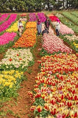 Tulip fields (taszee63) Tags: tasmania tablecape tulips flowers colours people row yellow white red pink