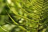Farn (gripspix (OFF)) Tags: 20170619 fern farn farnwedel fernleaf green grün sporenträger sporangia sporangien