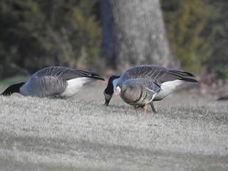 Golf Geese