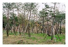(Jordane Prestrot) Tags: jordaneprestrot film filmisnotdead analog argentique argéntico película coréedusud southkorea coreadelsur ♈ séoul seoul seúl slum chabola bidonville tree arbre árbol