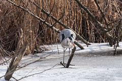 _NFX2533 (soderqvist.magdalena) Tags: greyheron heron gråhäger birds fåglar wildlife nature råstasjön winter
