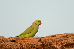 Ring-necked Parakeet Psittacula krameri Goa India b2 (JohnMannPhoto) Tags: ringnecked parakeet psittacula krameri goa india