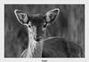 Biche (gilbert.calatayud) Tags: biche cerf ruminant mammifère cervus elaphus femelle noir et blanc tarn