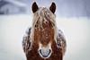 profile (MakiEni777) Tags: horse winter snow face hokkaido pasture animal cold