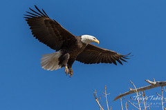 Bald Eagle approach and landing - 16 of 27