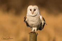 The Barn Owl (JDS-photo) Tags: barnowl tytoalba owl wildowl wildbarnowl bird perched post nature wildlife jamieskipperphotography jdsphoto norfolkbarnowls lightroom canoneos80d canonef400mmf56lusm