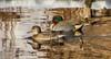7K8A5712 (rpealit) Tags: scenery wildife nature east hatchery alumni field hackettstown greenwinged teal duck bird