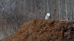 DSC_9896_edit (Hanzy2012) Tags: toronto ontario canada tommythompsonpark lesliestreetspit buboscandiacus snowyowl bird wildlife owl nature wild
