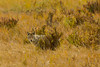 Can you see me now (ChicagoBob46) Tags: coyote yellowstone yellowstonenationalpark nature wildlife coth5 ngc npc