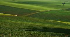 Jan´y green (Lutz Koch) Tags: idsteinerland idstein dasbach taunus januar 2018 winter grün green field feld baum tree schatten shadow minimal minimalismus lonetree minimalism sonne sun january