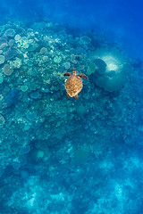 Turtle || Mana Island (David Marriott - Sydney) Tags: fiji fj turtle reef mana island ikelite
