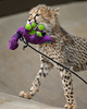 Saved from the Pool (Penny Hyde) Tags: babyanimal bigcat cheetah cheetahcub cub sandiegozoo