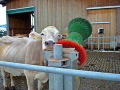 aaaaaaaaahhhhh (Daphne-8) Tags: braunvieh cattle cows animals vaca mucca suisse switzerland schweiz zwitserland svizzera svizra