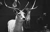 MUHNAC I (Tessa Santos) Tags: museu de historia natural lisboa muhnac history museum lisbon animal stag mammal veado cervus