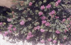 Pink heather by steam jet. Lassen volcanics. Bumpass Hell amphitheatre (Mary Gillham Archive Project) Tags: 1987 87232 california lassenvolcanicpark pinkheather planttree usa
