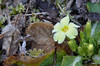 Gelo ma sopravvivo (♥danars♥) Tags: feltrino fiori natura piante primula gelo sottobosco alberi