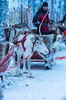Rovaniemi- Finland, January 1, 2018: Highbred Sledding Deer In Rovaniemi Husky Sledding  Park in Finland in January 1, 2018 (DmitryMorgan) Tags: scandinavia animal arctic arcticcircle bred breed calm cold deer destinations doe editorial environment europe fawn finland forest holiday horn lapland mammal nature nordic north northern outdoor outdoors pet purebred race rovaniemi siberian sled sledding sledge snow snowy suomi tranquil travel traveling winter