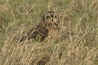 Short Eared Owl about to swallow a rat