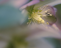 Discovery (shawn~white) Tags: 100mm canon6d hellebore macro nature plant shawnwhite beauty blue bokeh demure enchanting floral flower pink stamen sumptuous yellow