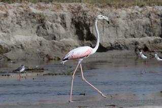 Immature Greater Flamingo at Taqah S24A5348