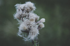 Getting darker (strumswell) Tags: macro bokeh field flowers smooth green white