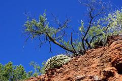 Red Rock State Park - Sedona, AZ (SomePhotosTakenByMe) Tags: cactus kaktus baum tree redrockstatepark statepark urlaub vacation holiday usa america amerika unitedstates arizona sedona outdoor hike wanderung trail natur nature redrock