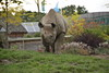 Chester Zoo (805) (rs1979) Tags: chesterzoo zoo chester blackrhino rhino