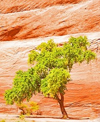 "IN A TREE THERE IS A SPIRIT OF LIFE,  A SPIRIT OF GROWTH AND A SPIRIT OF HOLDING ITS HEAD UP"" (Irene2727) Tags: tree leaves nature trunk bark rock rockface canyondechelly arizona valley outdoors wood green"