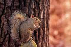 Balanced Breakfast (Goromo) Tags: squirrel balancing tree bokeh light eating woods glow he eye tack sharp beautiful glistening twinkle it