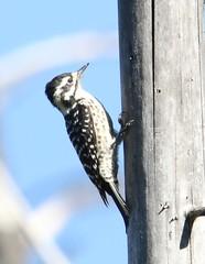 Nuttall's Woodpecker (Picoides nuttallii) 10-25-2017 Pine Flat Rd.--upper, Sonoma Co. CA 3 (Birder20714) Tags: birds california woodpeckers picidae picoides nuttallii