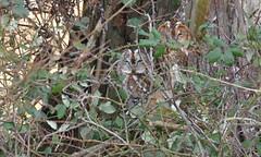 Tawny Owls (KHR Images) Tags: tawnyowls strixaluco tawny owls pair wild owl birdofprey perched hollow woodland wildlife nature camouflage nikon d500 kevinrobson khrimages