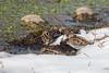 Wilson's Snipe (dbifulco) Tags: nature alumnifields bird birds hackettstown snow water wildlife wilsonssnipe winter