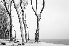 Küstenwald (Petra Runge) Tags: baum bäume buchen nienhagen gespensterwald winter schwarzweis monochrom wald küste natur landschaft landscape nature trees beeches coast black white