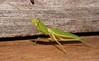 Praying Mantis Mantodea Airlie Beach rainforest P1240481 (Steve & Alison1) Tags: praying mantis mantodea airlie beach rainforest