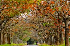 想念的季節 (hosihane) Tags: 隧道 臺灣 嘉義縣新港鄉 苦練花 花 種子 行道樹 道路 sony a77 trees avenue grass bicycle motorbike