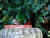 Quick Dip ... ☺☺ (Tricia in Kent UK ....☺) Tags: quickdip wren bird bath garden bush maidstonekentuk catoneaster