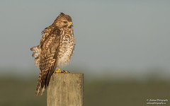 Red-shouldered Hawk (salmoteb@rogers.com) Tags: bird wild outdoor nature wildlife redshouldered hawk perch