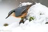 trepador azul nieve (barragan1941) Tags: aves cremenes2018 fauna nieve pajaros trepadorazul snow birds