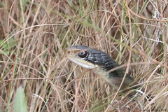 Everglades Racer Snake; with an Injured Eye (Arthur Windsor - Florida Wildlife) Tags: everglades racer snake injury eye herping herpetologist herp reptile mm63north thefloridatrail bigcypressnationalpreserve colliercounty florida