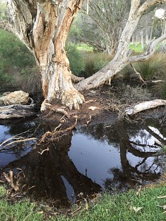 Paperbark reflections