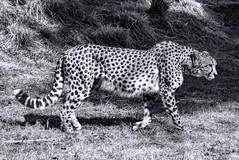 Cheetah at National Zoo (dckellyphoto) Tags: 2018 washingtondc washington districtofcolumbia nationalzoo zoo animal smithsoniansnationalzooandconservationbiologyinstitute canon1300d canonrebelt6 acinonyxjubatus cheetah cat monochrome smithsonian blackandwhite noiretblanc