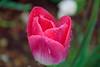 Spring Raindrops (Lojones13) Tags: raindrops water flower tulip flora pink nature outside macro drops bokeh plant