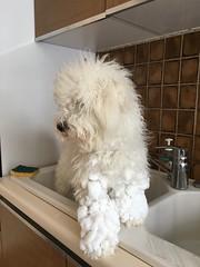 Naïs aime beaucoup la neige ! (Annelise LE BIAN) Tags: alittlebeauty naïs chien bichonfrisé coth coth5