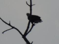 DSCN0861 (dishfunctional) Tags: confluence state park mississippi missouri river bald eagle
